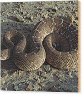Red Rattlesnake Baja California Mexico Wood Print