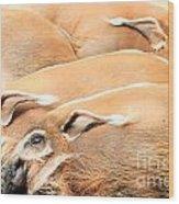 Red River Hogs Potamochoerus Porcus Wood Print