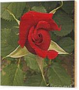 Red Rose Blooming Wood Print