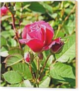 Pink Rose Buds Wood Print