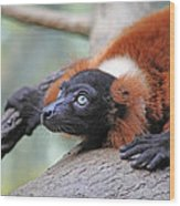 Red-ruffed Lemur Wood Print by Karol Livote