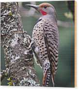Red Shafted Flicker Vi Wood Print