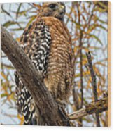 Red-shouldered Hawk In A Willow Tree Wood Print