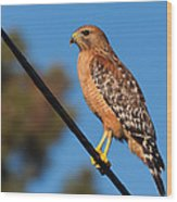 Red-shouldered Hawk On A Wire Wood Print