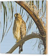Red-shouldered Hawk On The Palm Tree Wood Print