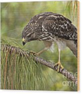 Red Shouldered Hawk Photo Wood Print