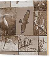 Red-shouldered Hawk Poster - Sepia Wood Print by Carol Groenen