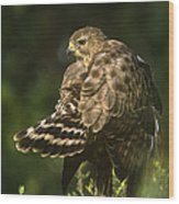 Red-shouldered Hawk Wild Texas Wood Print