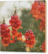 Red Snapdragons Wood Print