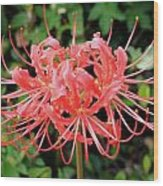 Red Spider Lily Wood Print