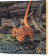 Red Spotted Newt Wood Print