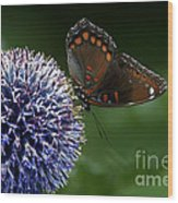 Red Spotted Purple Butterfly Gathering Nectar  Wood Print