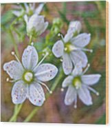 Red-spotted Saxifrage Along Horseshoe Lake Trail In Denali Np-ak  Wood Print