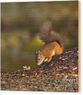 Red Squirrel In Autumn Wood Print