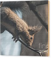 Red Squirrel Licking Dew Droplets  Wood Print