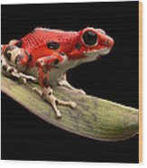Red Strawberry Poison Dart Frog Wood Print by Dirk Ercken