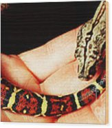 Red Tail Baby Boa - Snake - Pet Wood Print