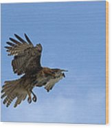 Red Tail Hawk Wood Print by Bill Gallagher