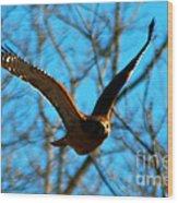 Red Tail Hawk In Flight Wood Print
