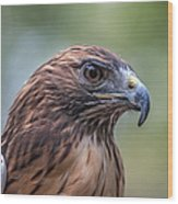 Red Tail Hawk Wood Print by John Haldane