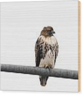 Red Tail Hawk On Light Pole Wood Print