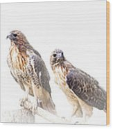 Red Tail Hawk Pair On White Background Wood Print