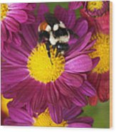 Red-tailed Bumble Bee Wood Print