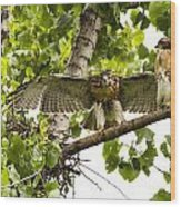Red-tailed Fledges Wood Print