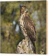 Red Tailed Hawk 1 Wood Print