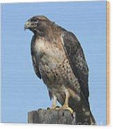 Red-tailed Hawk Monterey California  2008 Wood Print