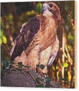 Red Tailed Hawk - 53 Wood Print
