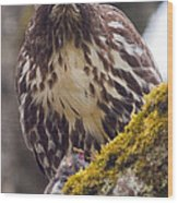 Red Tailed Hawk - Breakfast Close Up Wood Print