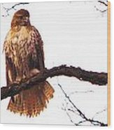 Red-tailed Hawk Drying Out Wood Print