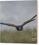 Harris Hawk Hunting Wood Print