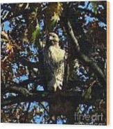 Red Tailed Hawk In Tree Wood Print