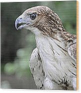 Red Tailed Hawk Wood Print
