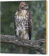 Red-tailed Hawk On Oak Wood Print