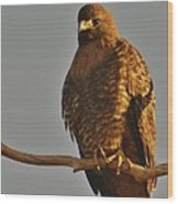 Red-tailed Hawk Rufous-morphed Wood Print by Sara Edens