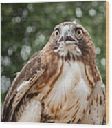 Red-tailed Hawk Square Wood Print by Bill Wakeley
