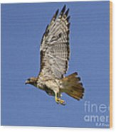 Red-tailed Hawk Takeoff Wood Print