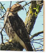 Red Tailed Interest Wood Print