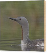 Red-throated Loon In Breeding Plumage Wood Print