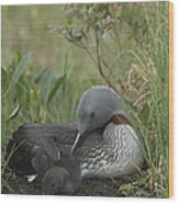 Red-throated Loon With Chick On Nest Wood Print