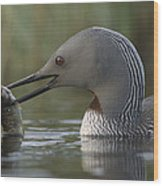 Red-throated Loon With Fish Alaska Wood Print