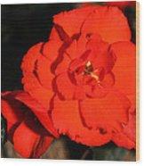 Red Tuberous Begonia Flower Wood Print