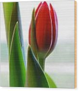 Red Tulip Day 1 Wood Print
