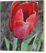Red Tulip In Garden Wood Print