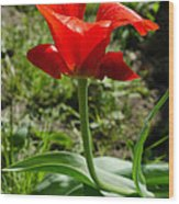 Red Tulip On The Green Background Wood Print