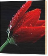 Red Tulip With Water Drops Wood Print