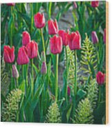 Red Tulips In Skagit Valley Wood Print